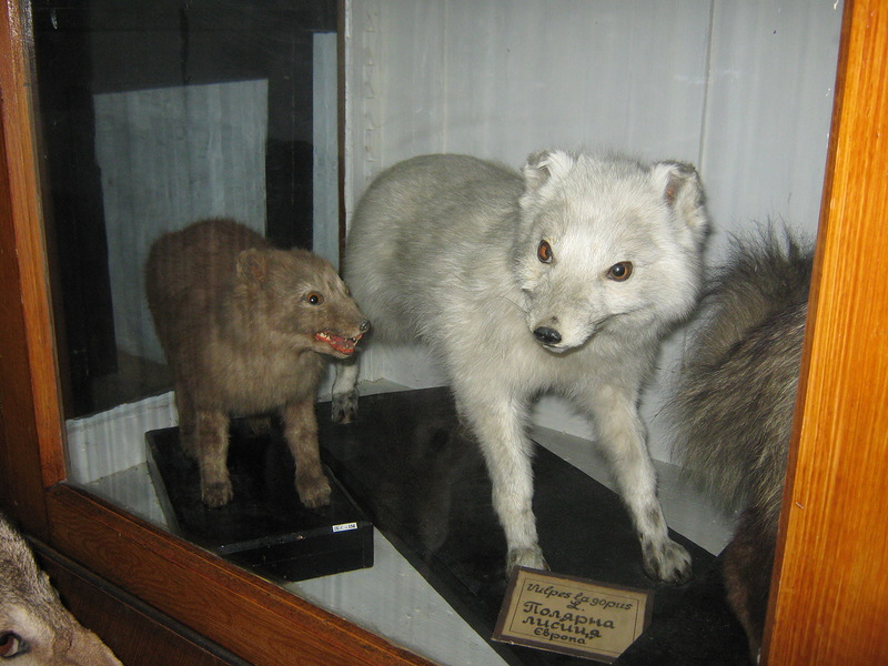 Або полярна лисиця, по іншому